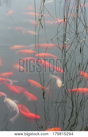 Koi carp fish in the lake or pond. Top view. Vertical.