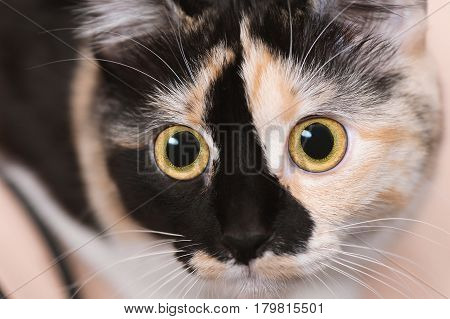 Cute cat with yellow eyes. Close up.