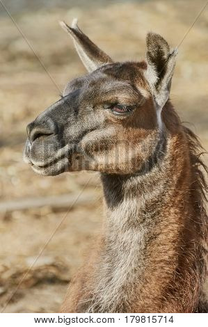 Close-up Portrait of Llama in the Nature