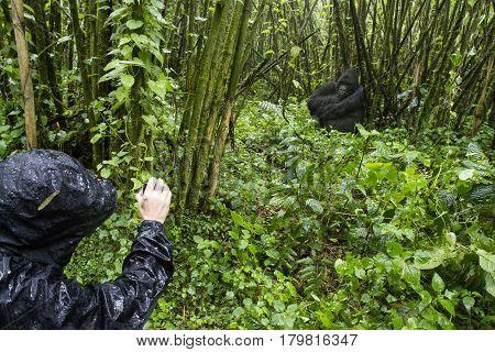 Tourist And Gorilla In Volcanoes National Park, Virunga, Rwanda