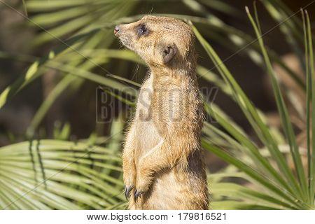 Meerkats to the sun prying Suricata suricatta