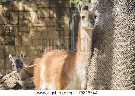 Guanaco looking closely at something Lama Guanicoe