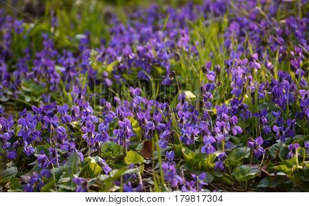 Bright Tender Violets In The Forest Close Up In Spring