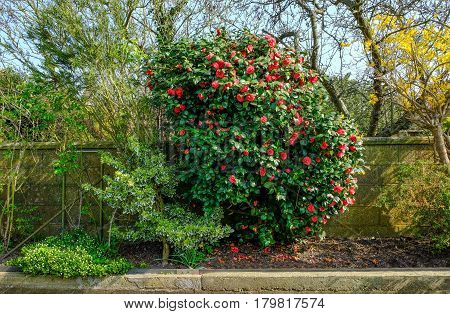 Camelia bush in bloom in Springtime.  Shot taken on a bright afternoon and shows the bush in a flower bed with a wall behind.