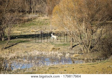 Shepherd dog walking in pursuit of hunting,