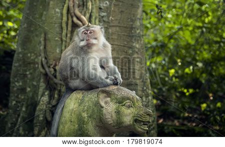 large adult catarrhini the Old world is sitting on a stone the figure of a tiger in the rain forest amid tropical forest