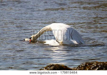 A pair of Mute Swans mating on water