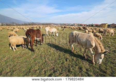 donkeys with brown and white fur grazing along with sheep photographed with a fisheye lens