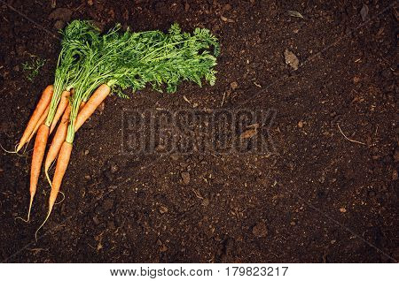 Raw, natural food background. Vegetables, carrot top view on natural soil background. Photograph taken from above, with dirt, soil. Vintage gardening concept with copy space