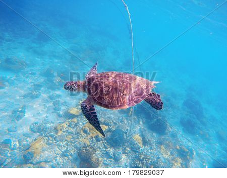 Sea turtle in blue water. Olive green turtle in natural environment. Wild nature of tropical seashore. Sea tortoise underwater photo. Seaside animal above the coral reef. Wildlife of exotic island
