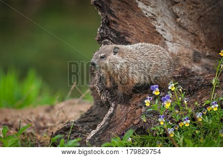 Young Woodchuck (Marmota monax) Looks Left From Log - captive animal