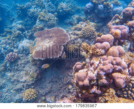 Pink coral closeup underwater photo. Tropical seashore underwater photo. Coral ecosystem with sea animals and plant. Exotic island sea snorkeling scene. Natural aquarium. Sea bottom with coral species