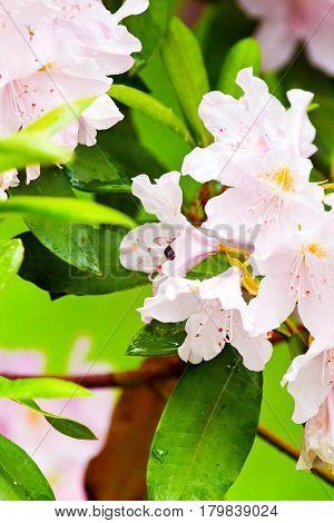 Background of flowering delicate azaleas flowers in the garden