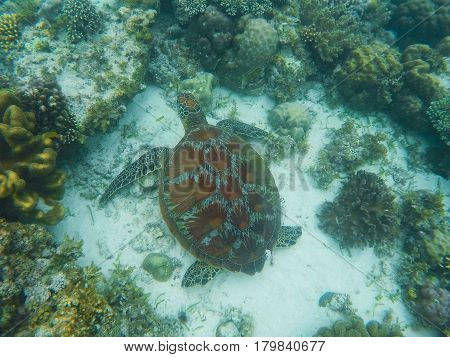 Sea turtle swims near corals on seabottom. White coral sand and coral reef. Tropical lagoon environment with sea animals. Olive green turtle in wild nature. Snorkeling with tortoise underwater photo