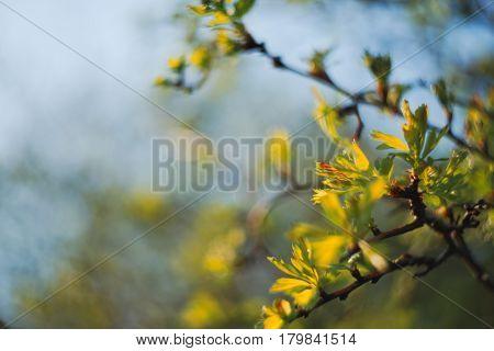 Fresh Sorbus Leaves