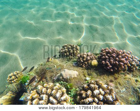 Coral reef formation on the sea bottom. Young coral formation on sand seabottom. Coral reef underwater photo. Snorkeling or diving banner template with text place. Summer holiday sport in seashore