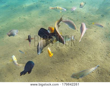 Underwater sea view with diverse tropical fish. Young coral formation and coral fish shoal. Butterflyfish parrotfish surgeonfish. Aquarium fish in wild nature. Exotic island seashore. Undersea photo