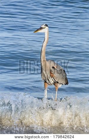 A great blue heron stands in the breaking waves of John's Pass an inlet from the the Gulf of Mexico at Treasure Island Florida.