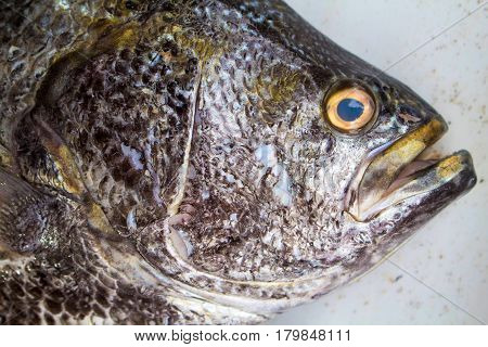 Big fish on market. Sea fish head closeup with gills and scale texture. Grey and silver fish skin. Seafood close-up for background or banner. Raw fisherman's catch. Oceanic fish on white shop display
