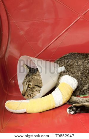 cat wearing an Elizabethan collar and cat leg to splint sleeping in a red plastic basket