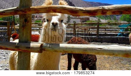 Foreground of a typical animal from the north of Argentina: the llama