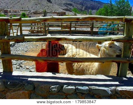 North of Argentina's wildlife. A white llama and a brown one together