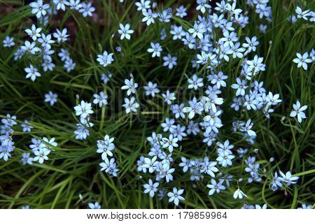 Blue Eyed Grass bunch numerous beautiful lovely