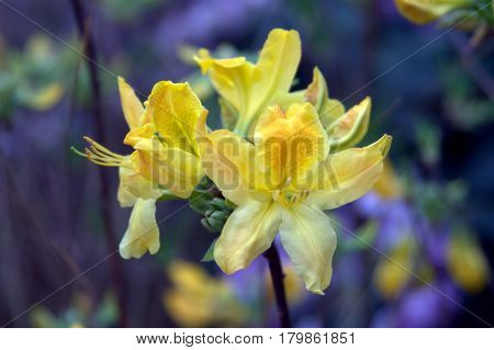 Azalea yellow flower petals macro up close