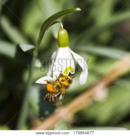 Snowdrop with bee-First spring flower rising from frozes ground.Bee gathering firs honey.
