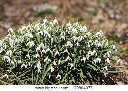 Snowdrop-First spring flower rising from frozes ground.