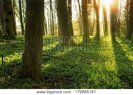 Spring forest with wood anemone flowers and fresh green grass on the ground backlit with sunrays copy space selected focus