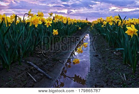 Daffodils fild at sunset and reflection in water. Scagit Valley Tulip and Daffodil Festival. Mount Vernon. Seattle. Washington. United States.
