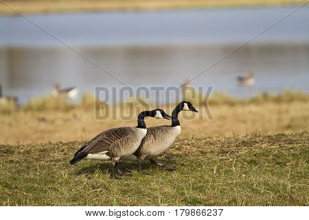 Canada goose-Goose attempts to seduce a female