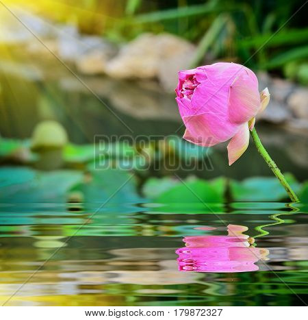 close up beautiful lotus in pond with reflection