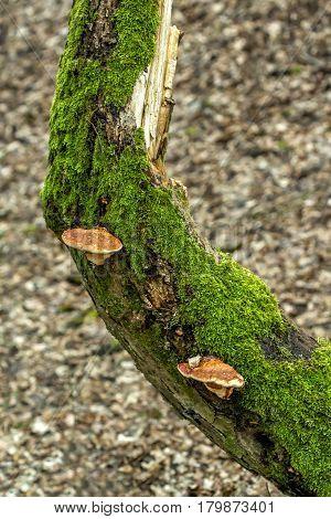 Two Mushrooms On Tree