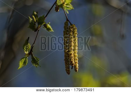 On a sunny April day small green leaves and birch catkins against the background of a blue spring sky create an image of spring awakening new life joy and love.