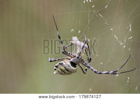 African Golden Orb Spider catching and eating food