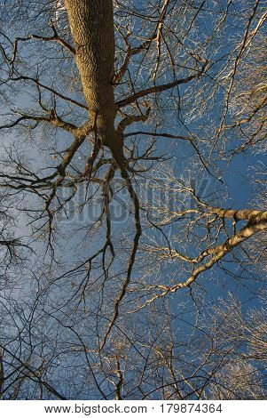 In the spring park the bare branches of large trees against the blue sky create a peculiar pattern.