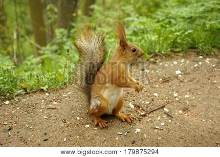 Cute squirrel sitting on the ground close-up