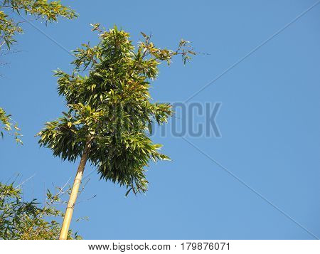 Bamboo Tree Over Blue Sky With Copy Space