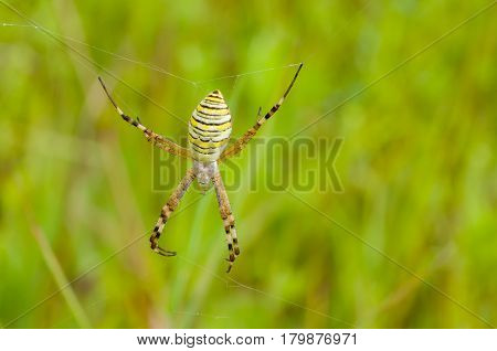 Yellow-black spider (Argiope Bruennichi) in the summer field.