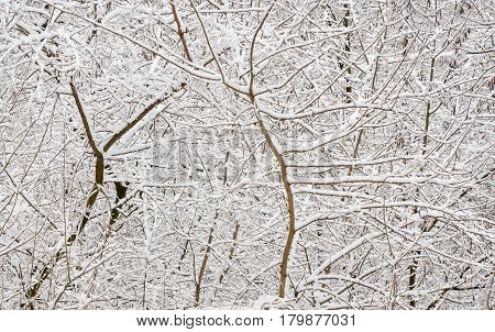 Branchy trees and snowy natural background .