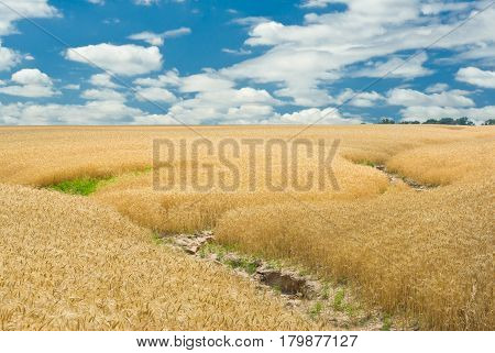 Summer landscape with wheat field and soil erosion in Ukraine.