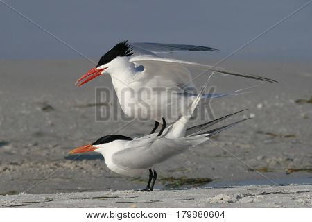 Two Royal Terns in a courtship display prior to mating