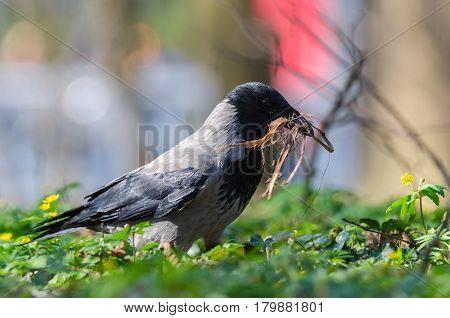 DUN CROW - Bird spring in a city park