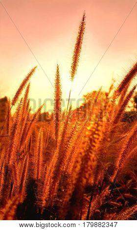 Purple fountain grass in golden sunset Pennisetum setaceum
