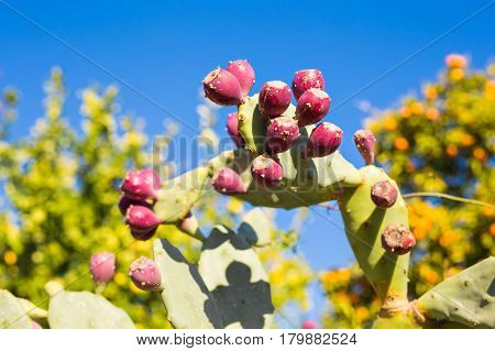 Prickly pear cactus with fruit against blue sky