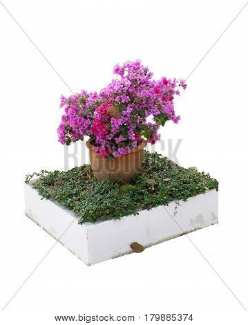 Isolated white pink Bougainvillea with flowerpot and grass with clipping path