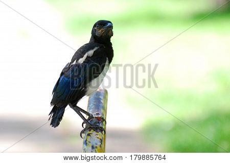 Jung black white bird Magpie ready to fly in the park. Eurasian Magpie, Pica pica