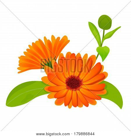 Calendula flower vector illustration. marigold. Botanical herb isolated on white. Flowers with leaves. Herbal medicine plant for skin and hair care, cosmetics, ointments, perfumery, label, decoration
